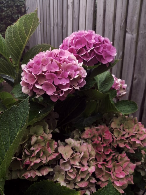 Zandra bor i Helsingborg och kanske blommar hortensian längre där, men även när den börjar tappa färgen är den vacker.