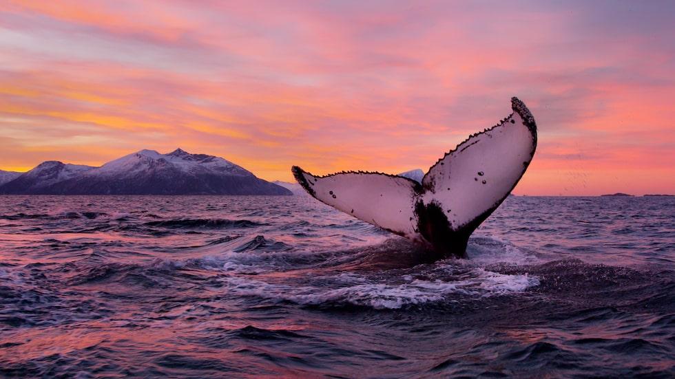 Tromsö har safari för norrsken, valar och havsörn och fantastisk vacker natur som måste upptäckas.
