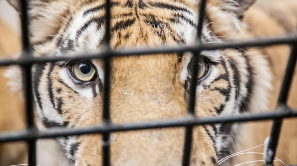 <p>Tigrarna bor i trånga utrymmen och kan inte röra sig fritt.</p>