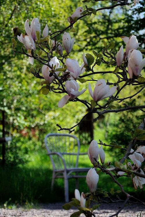 Magnolian är vårträdgårdens drottning.