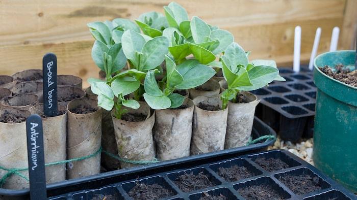 Olika typer av bönor och ärtor är perfekta att plantera i toapappersrullar eftersom de gror snabbt.