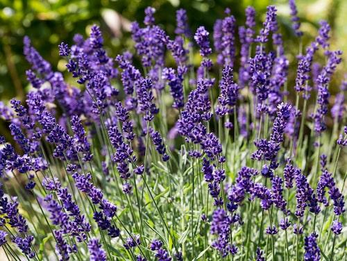 Att föröka lavendel med sticklingar är relativt enkelt.
