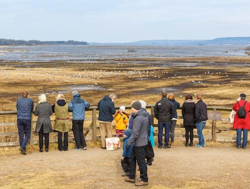 Den 3 april 2019 kunde 27 300 tranor beskådas vid Hornborgasjön, vilket gäller som rekord än i dag. Bilden är tagen vid ett annat tillfälle.
