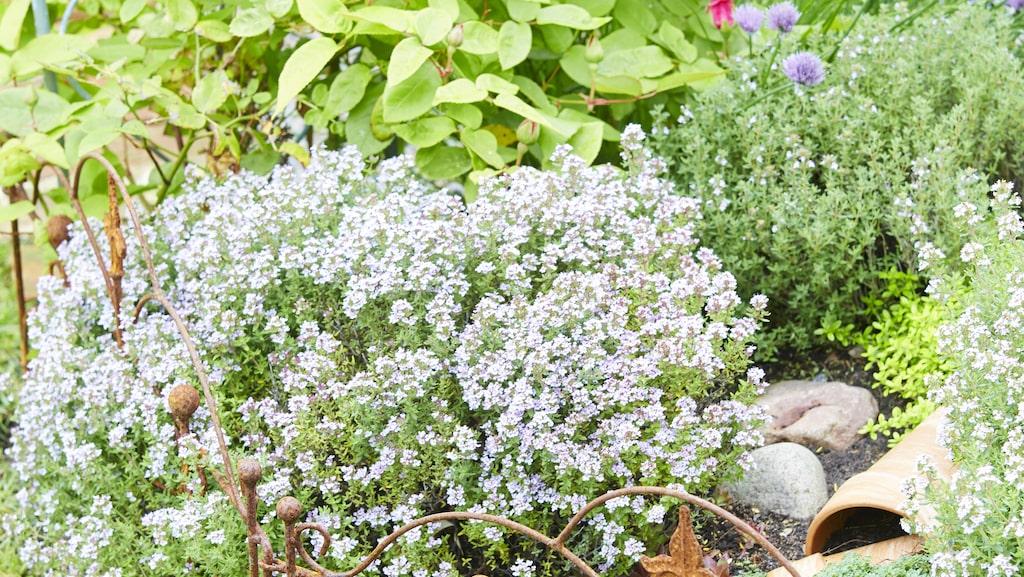 I den njurformade rabatten växer lavendel, salvia och rudbeckia. På spaljén av armeringsjärn som Milla tillverkar själv klättrar både klematis och rosenvial.