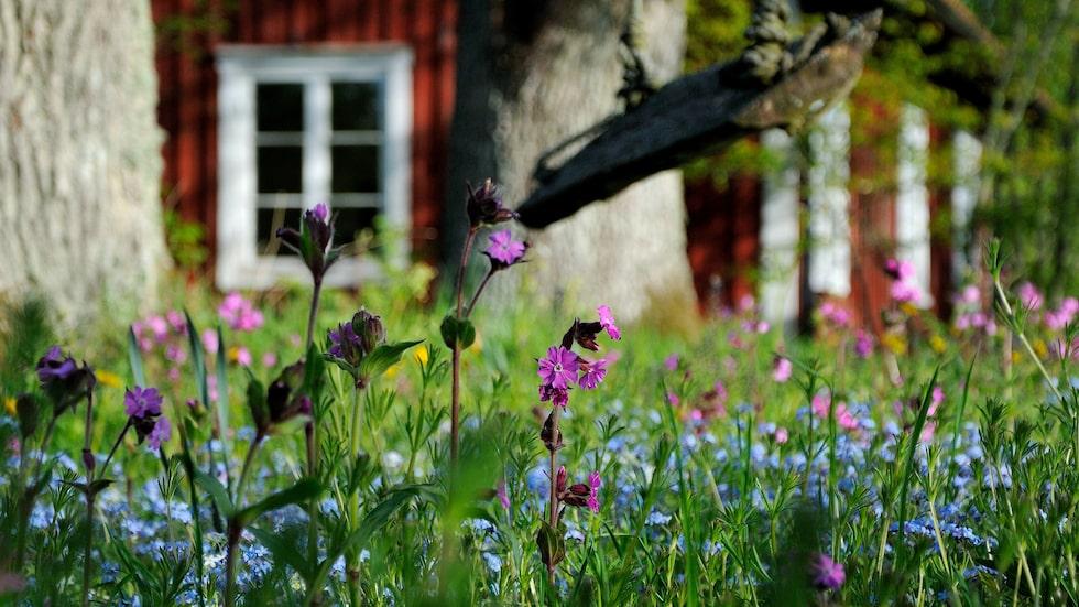 Vacker försommaräng med rödblära och förgätmigej. Rödblära gillar fuktig och näringsrik jord, den växer även vilt.