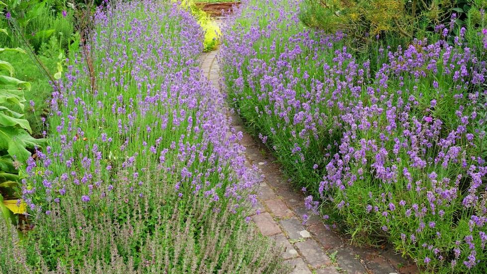 Lavendeln passar utmärkt som kantväxt och att ha den intill en gång så här är både vackert och gör att det doftar ljuvligt.