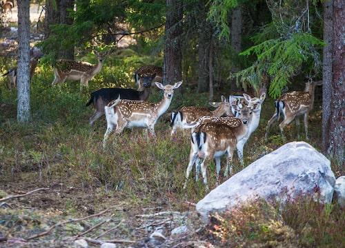 Bambisöta dovhjortar på Kosta safaripark.