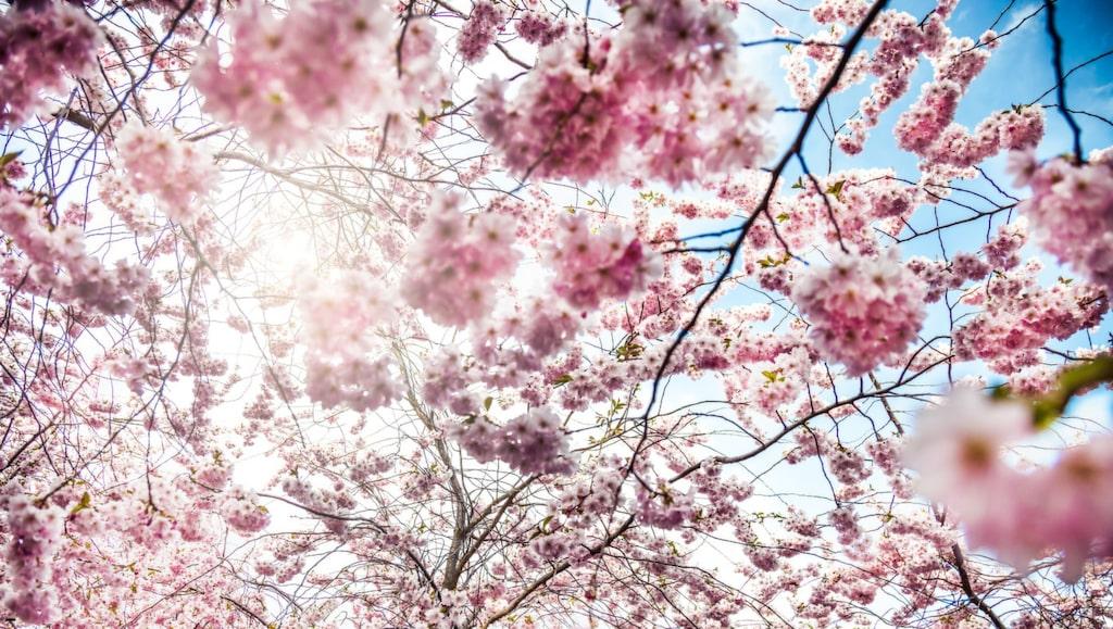 När de rosa träden blommar är det ett riktigt tecken på att våren verkligen har kommit.