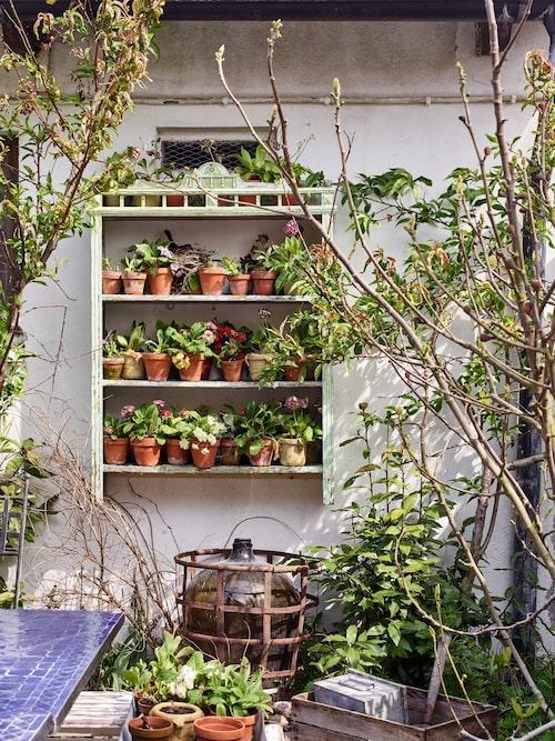 Karl Fredrik har länge drömt om en riktig aurikelteater, en samling av olika sorters primulaväxter på hyllor, som på en scen. Nu finns den mellan fikon- och persikoträdet i köksträdgården.