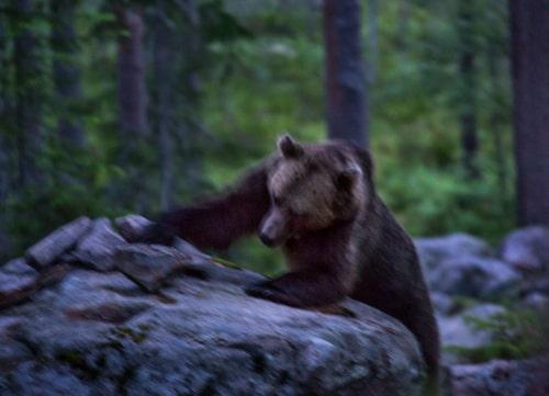 En stor björnhane flyttar på stenar för att hitta åtel, som lagts ut. Bara ett tiotal meter bort kan vi följa det magiska skådespelet i den dunkla skymningen.