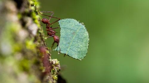 En liten, liten bladskärarmyra som flitigt släpar på en bit blad till sitt myrbo.