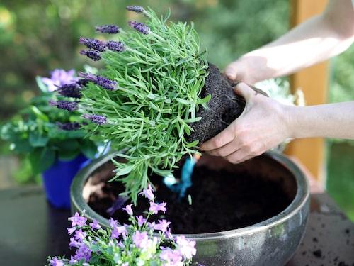 Rätt jord är viktigt för lavendel. Det ska vara en sandig jord, så även om du väljer medelhavsjord så behövs oftast lite extra sand.