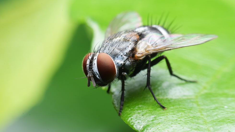 Det är inte bara vi som älskar sommar och värme, det gör även flugorna.