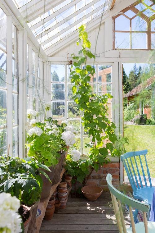Pelargonerna frodas i det charmiga växthuset som var Johans byggprojekt för tre somrar sedan. De vackra fönstren köptes av en familj som rev sitt gamla växthus.