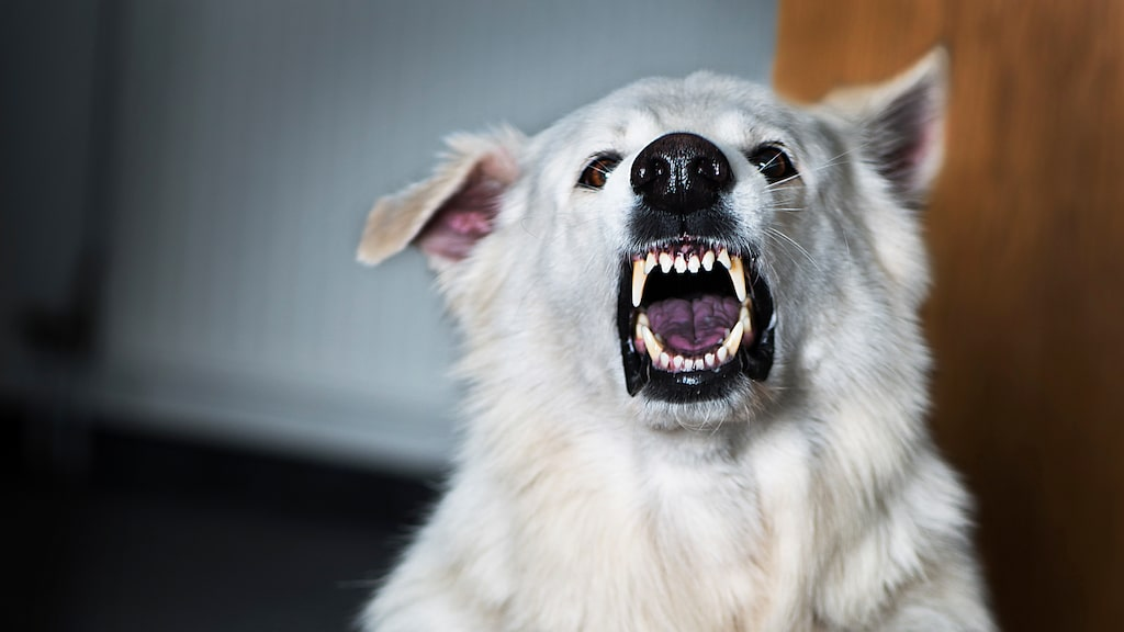 Rätt uppfostran och hantering kan göra vilken hund som helst exemplarisk.