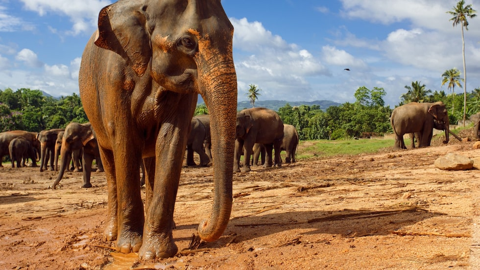 Den asiatiska elefanten ligger illa till, enligt miljöexperterna The Eco Experts.