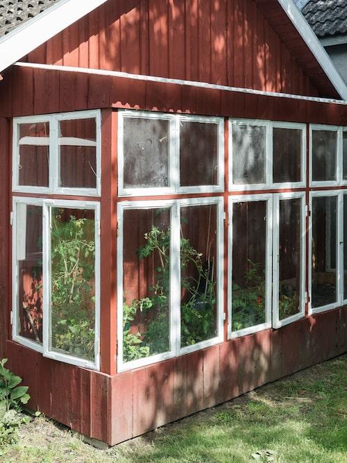 Robin har byggt ett litet växthus intill fasaden på det gamla uthuset. Virket hittade han i ett förråd och fönstren satt tidigare på huset. Nu odlar paret tomater i växthuset.