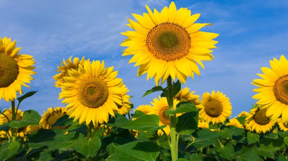 Solrosfrön innehåller både nyttiga proteiner och aminosyror.