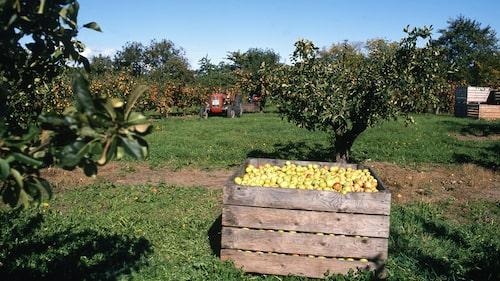 Träden på Österlen dignar av äpplen i skördetider.