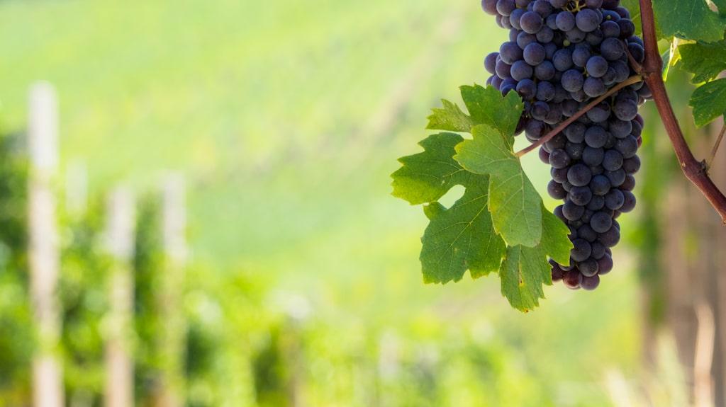 Nebbiolo är en av de vanligaste druvorna i italienskt rött vin