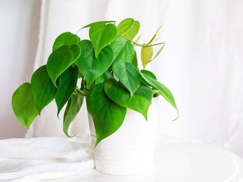 """""""Philodendron sweetheart"""" har hjärtformade blad."""