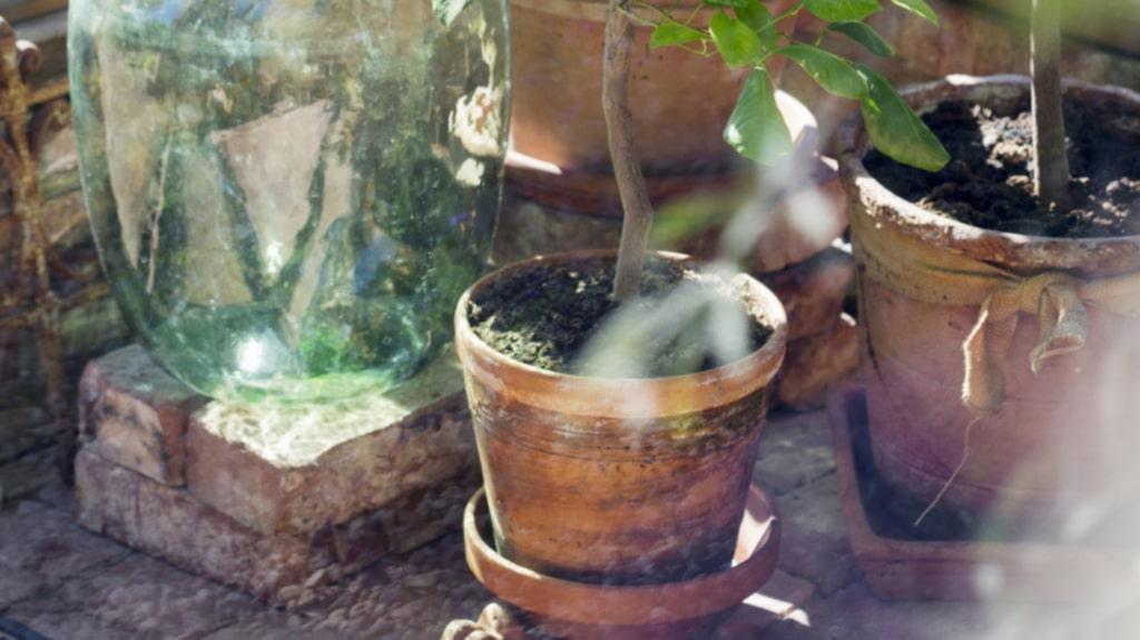 <p>Vackert stilleben i växthuset, med citrusväxter i kruka: apelsin, citron och lime. Den gamla damejeannen är köpt på loppis.</p>