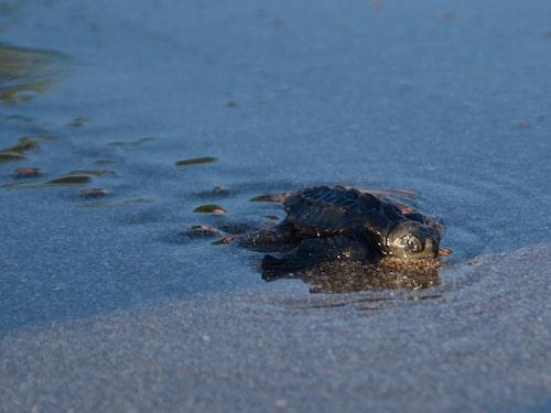 I Montezuma hjälper man havssköldpaddsungar att komma till Stilla havet.