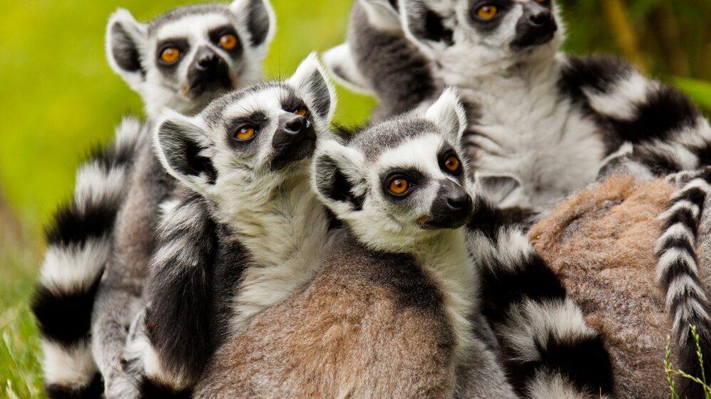 Lemurer sägs göra yoga naturligt.