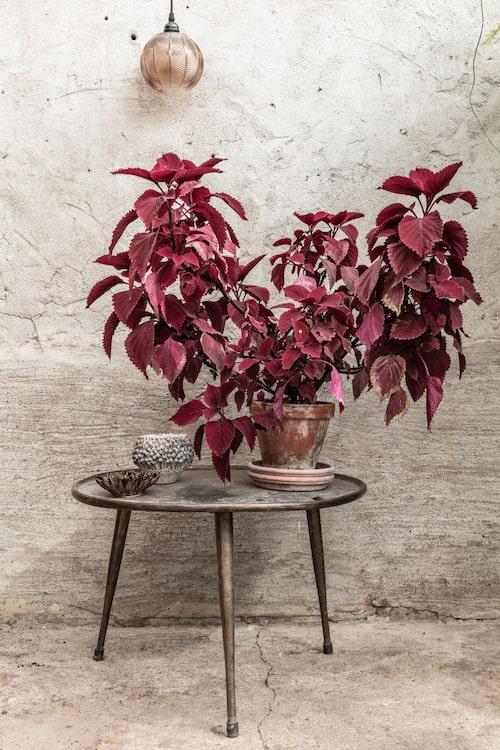 Palettbald – vacker men växer som ogräs.