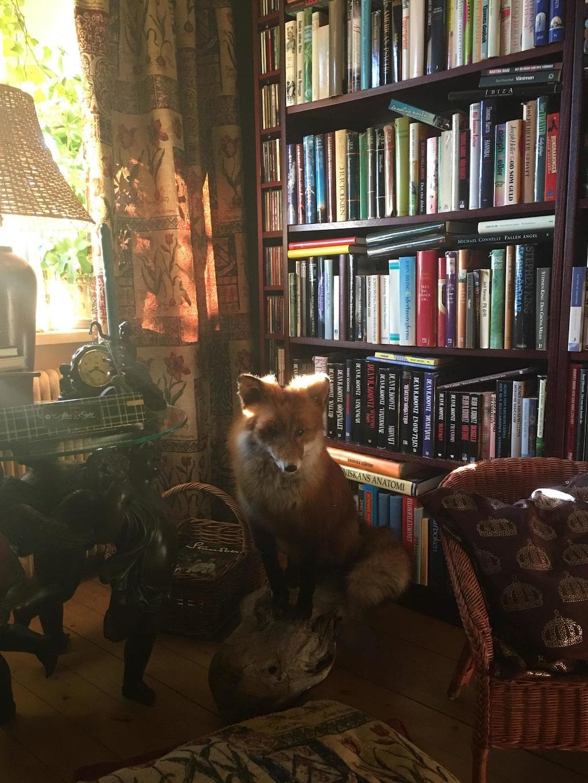 """Bibliotek med uppstoppad räv. """"Biblioteket med vår fina räv som vi hittade påkörd alldeles där vi bor. Det såg ut som om den sov, det fanns inga yttre skador. Det kändes inte bra att bara begrava den, så nu bor den hos oss för evigt."""""""