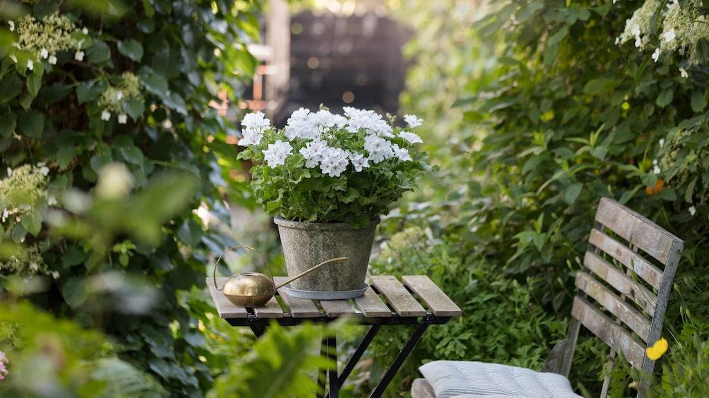 Pelargoner som står torrt och soligt mår bra av att vattnas varje dag.