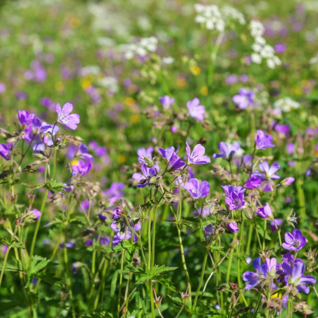 <p><strong>MIDSOMMARBLOMSTER.</strong> Blommar med violetta blommor, vita blommor är dock vanliga i Norrland. Kallades förr skogsnäva och tillhör familjen nävor. Finns i en del ängsblommeblandningar men det går även att sätta plantor. Trivs i sol eller lätt halvskugga.</p>