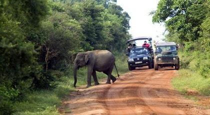 SRI LANKA. Det finns 200 elefanter i Yala nationalpark - och minst lika många turister.