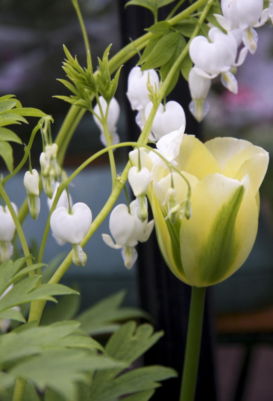 Vackert par.Löjtnantshjärta trivs bra tillsammans med tulpaner. Här det vita löjtnantshjärtat tillsammans med 'Spring Green'.