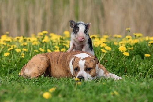 Hundar och grisar brukar gå bra ihop, även om undantag finns.