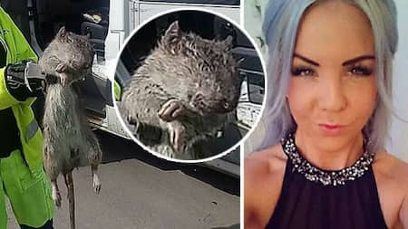 Stora Råttor I Stockholm