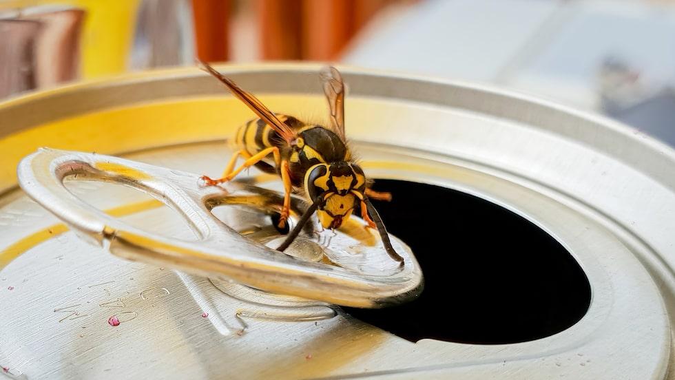 Getingar är ett nyttodjur, men de är inte särskilt trevliga att ha kring middagsbordet på uteplatsen.