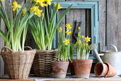 Placera påskliljor i krukor utomhus. De tål kyla och håller betydligt längre ute.