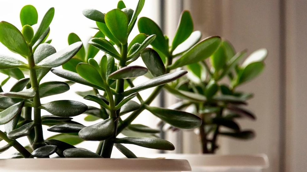 Paradisträdet är en suckulent som lagrar vatten och tål torka.