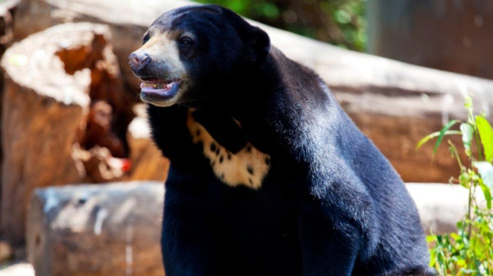 Stöter du på en björn i skogen är inte att spela död det bästa alternativet.