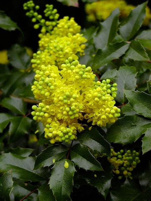 På våren blommar mahonian med sina väldoftande gula klasar.