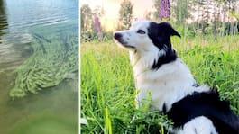 Familjens chock: Hunden Siri dog förgiftad av alger