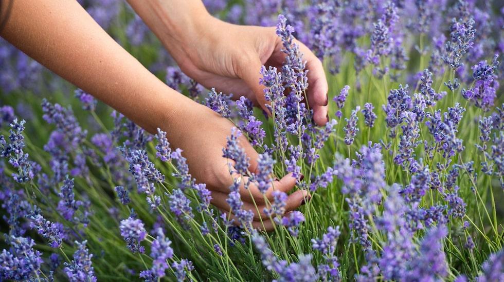 Inget är väl så rofyllt som lavendel. Skaffa det hemma för en härlig känsla i trädgården!