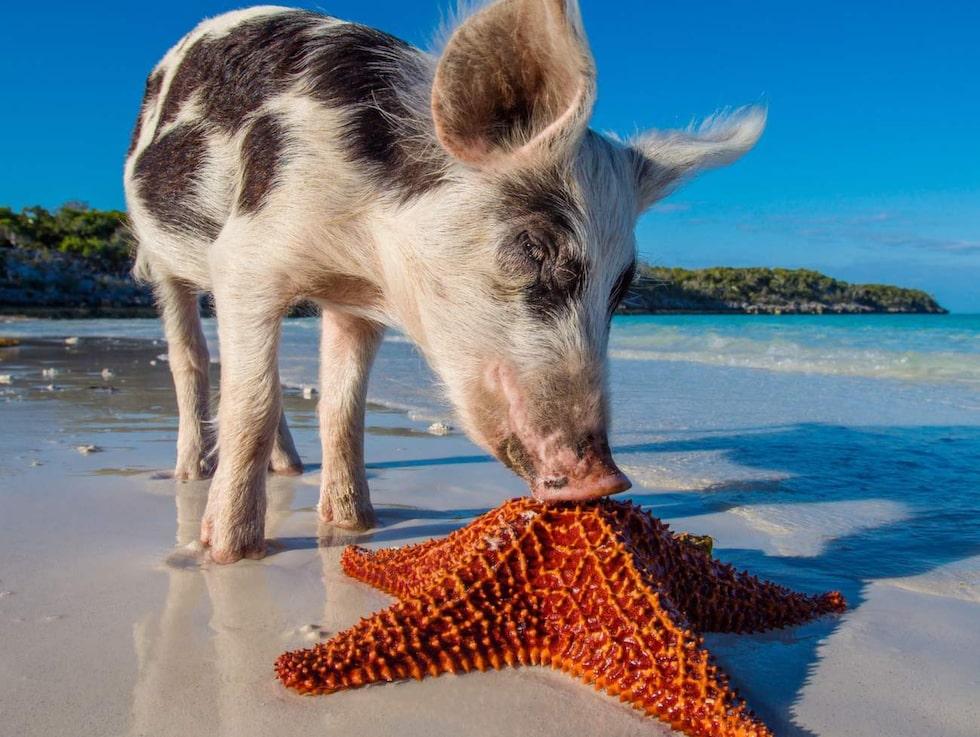 Det är oklart hur grisarna tog sig till ön, men de trivs uppenbarligen utmärkt.