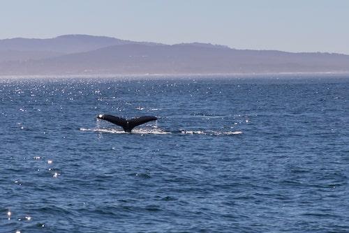 Valsafari med Discovery Whale Watch med utgångspunkt från Fisherman's Wharf i Monterey.
