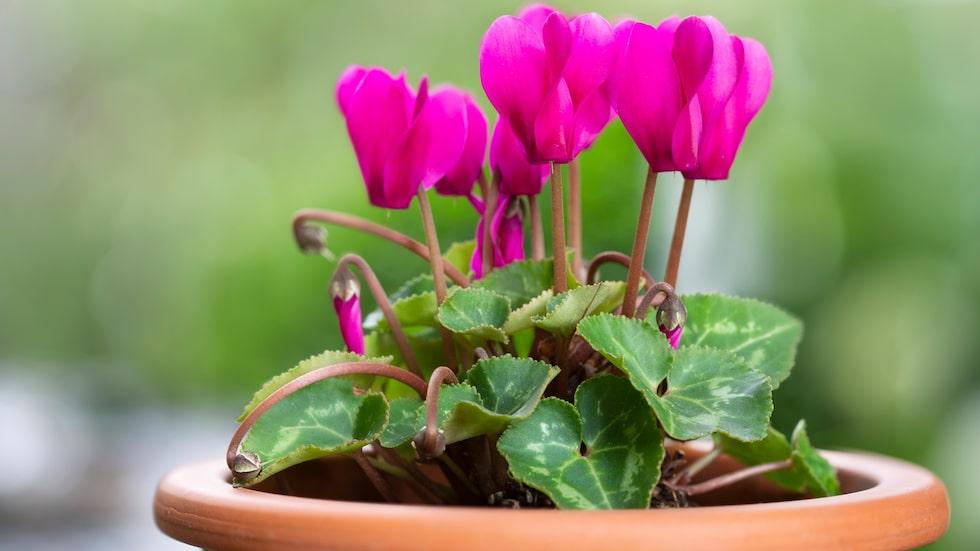 Cyklamen finns till salu ända fram till december. Ju tidigare du köper den desto större chans att den kommer att överleva, och till och med fortsätta blomma nästa år.