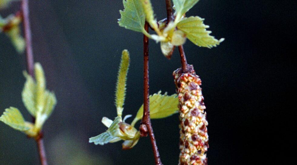 Våren är med sitt ljus och sin värme ett välkommet inslag för många svenskar. Men för omkring två miljoner pollenallergiker innebär det ofta en period med rinnande näsor och kliande ögon.