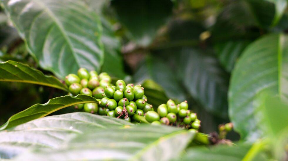 Kaffebönor på Bali.