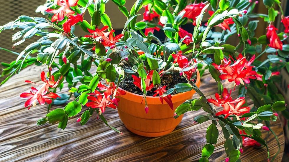 Den är lättskött och den blommar gärna – men det gäller förstås att veta hur man ska sköta om den. Novemberkaktus är en populär växt som gärna blommar på hösten och vintern.