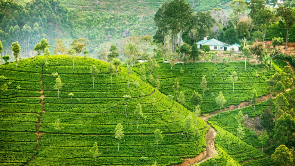 Det var engelsmännen som började odla te på Sri Lanka under kolonialtiden